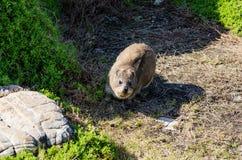 Marmota en Hermanus Suráfrica Fotografía de archivo