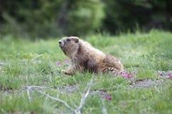 Marmota en la hierba Imagen de archivo libre de regalías