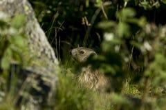 Marmota en la hierba Fotos de archivo libres de regalías