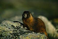 Marmota en una roca Imágenes de archivo libres de regalías