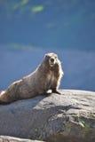Marmota en una roca Imagenes de archivo