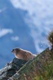 Marmota en una roca en las montañas Imagen de archivo libre de regalías