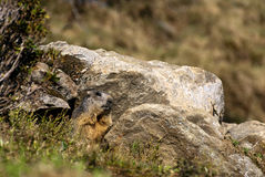 Marmota entre las piedras Imagen de archivo