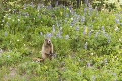 Marmota entre o Lupine Imagens de Stock Royalty Free