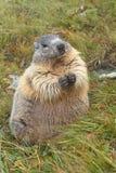 Marmota gorda Fotos de archivo libres de regalías