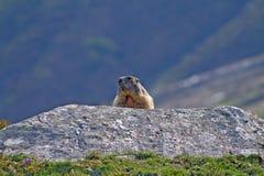 Marmota Groundhog atrás de uma rocha Imagem de Stock