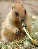 Marmota hermosa Fotos de archivo