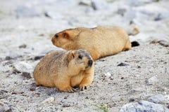 Marmota Himalayan imagem de stock royalty free