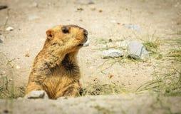 Marmota Himalayan Fotos de archivo