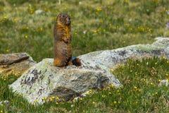 Marmota hinchada amarillo Imagen de archivo libre de regalías
