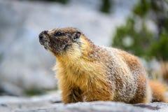 Marmota hinchada amarillo, parque nacional de secoya Fotos de archivo libres de regalías