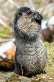 Marmota Hoary Fotografia de Stock