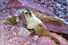 marmota hoary marmot caligata Стоковые Изображения