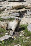 Marmota Hoary na borda rochosa Imagem de Stock
