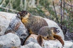 Marmota inchada amarelo Fotos de Stock Royalty Free