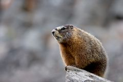 Marmota inchada amarelo em yellowstone Fotos de Stock Royalty Free