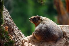 Marmota inchada amarelo (flaviventris do marmota) Fotos de Stock Royalty Free