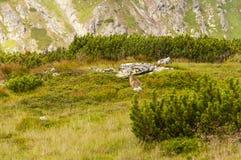 Marmota marmota latirostris Obrazy Royalty Free