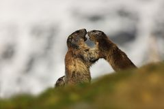 Marmota marmota. Photographed in Austria. Free nature. Mountains. The wild nature of Europe. Beautiful photo of animal life Royalty Free Stock Photo
