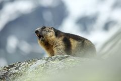 Marmota marmota. Photographed in Austria. Free nature. Mountains. The wild nature of Europe. Beautiful photo of animal life Stock Photo