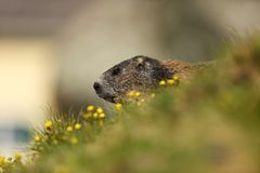 Marmota marmota. Photographed in Austria. Free nature. Mountains. The wild nature of Europe. Beautiful photo of animal life Royalty Free Stock Image