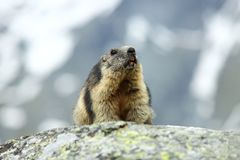 Marmota marmota. Photographed in Austria. Free nature. Mountains. The wild nature of Europe. Beautiful photo of animal life Stock Photography