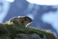Marmota marmota. Photographed in Austria. Free nature. Mountains. The wild nature of Europe. Beautiful photo of animal life Stock Images