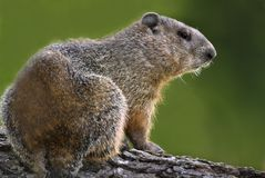 Marmota (monax de Marmata) Imagem de Stock Royalty Free