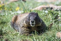 Marmota nas rochas Imagens de Stock