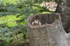 Marmota no coto de árvore Imagens de Stock Royalty Free