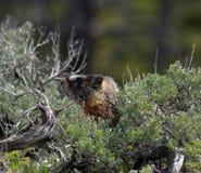 Marmota no sábio Foto de Stock Royalty Free