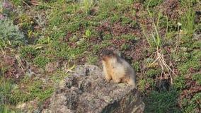 Marmota nos cumes video estoque