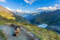 Marmota nos cumes austríacos Fotos de Stock Royalty Free