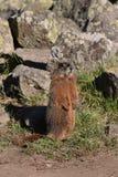 Marmota perto das rochas Foto de Stock Royalty Free