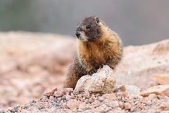 Marmota que descansa na rocha na parte superior da montagem Evans, Colorado Fotografia de Stock Royalty Free