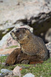 Marmota que descansa na tundra Fotos de Stock