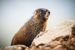 Marmota que descansa sobre roca en la cima del soporte Evans, Colorado Fotografía de archivo