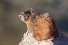 Marmota que descansa sobre roca en la cima del soporte Evans, Colorado Foto de archivo