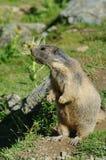 Marmota que grita - tarifa de Saas, atracción de la señal en Suiza imagenes de archivo