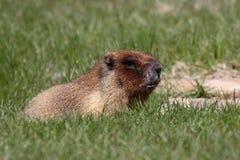 Marmota que mastica en hierba Imagen de archivo libre de regalías