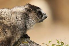 Marmota que mira con fijeza sobre una roca en el rango de Alaska Imagen de archivo
