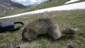 Marmota que obtém mais perto da câmera video estoque
