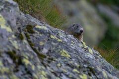 Marmota que oculta detrás de una roca en el salvaje Fotos de archivo