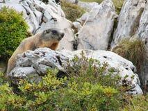 Marmota que olha ao redor em uma pedra imagens de stock