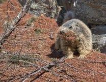 Marmota que recoge agujas del pino imágenes de archivo libres de regalías