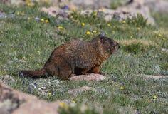 Marmota que se sienta imagen de archivo