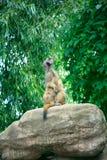 Marmota que se sienta en una roca Fotos de archivo
