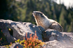 Marmota que se sienta en una roca Foto de archivo libre de regalías