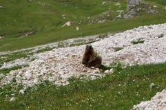 Marmota que senta-se e que olha na câmera Imagem de Stock Royalty Free