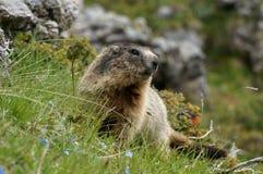 Marmota que senta-se na grama Imagem de Stock Royalty Free